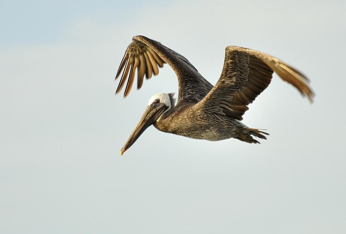 Fotograf a pelicano pardo de ricardo an bal rivero en - Fotos de pelicanos ...