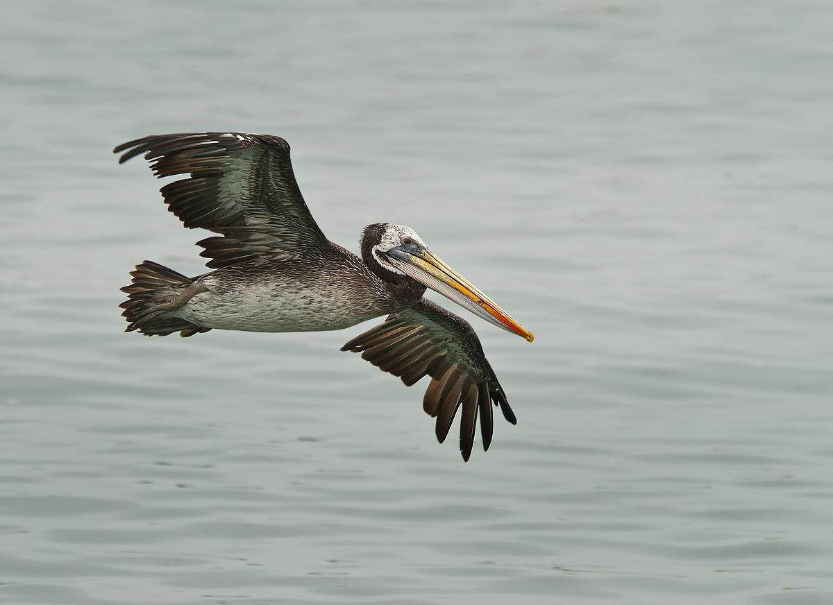 O Pelicano Distribuidora Fotografía Pelica...