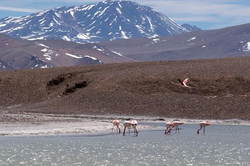 flamencos en la laguna
