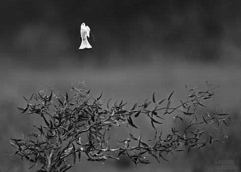 Il angelo bianco