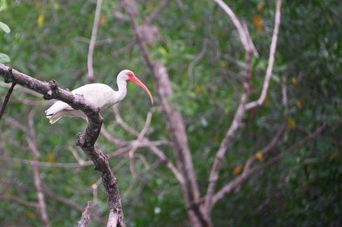 Ibis Blanco - Mompiche - Ecuador