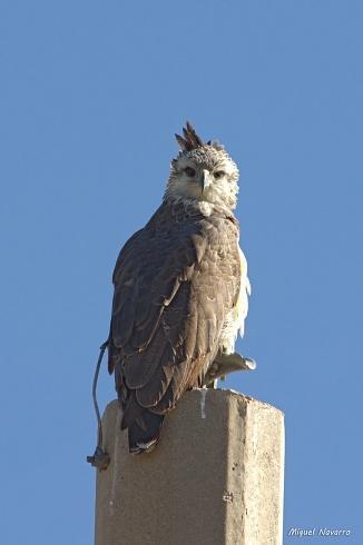 Aguila Coronada