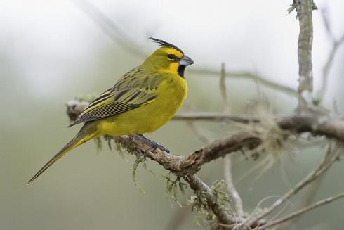 Cardenal amarillo