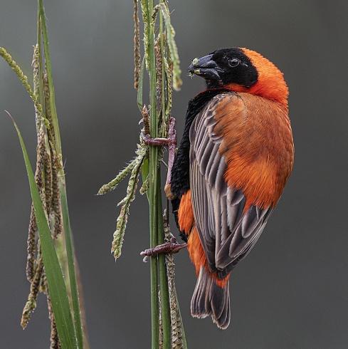 Obispo Rojo (Euplectes orix)