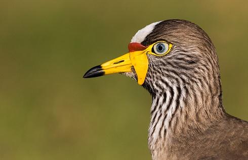 AFRICAN WATTLED LAPWING (Vanellus senegalllus)
