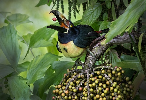 Arasar� Acollarado (Pteroglossus torquatus)