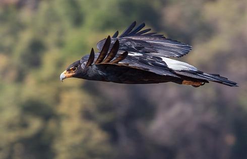 AGUILA DE VERREAUX (Aquila verreauxii)