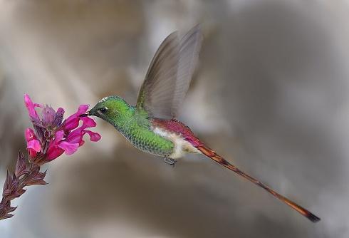 colibrí cometa (Sappho sparganura)