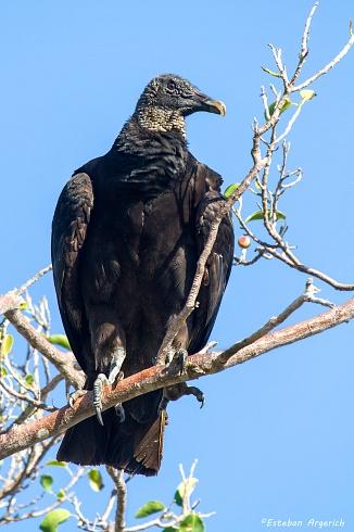 Jote cabeza negra - Coragyps atratus