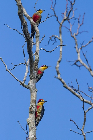 Carpintero arcoiris - Melanerpes flavifrons