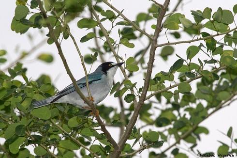 Frutero cabeza negra - Nemosia pileata
