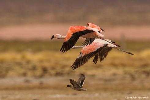 499! Flamenco austral - Phoenicopterus chilensis