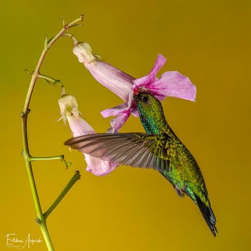 Picaflor verde - Chlorostilbon lucidus