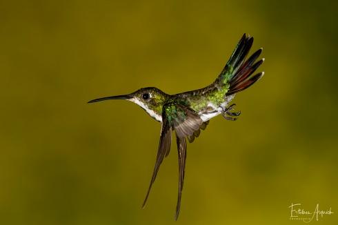 Picaflor Vientre Negro (Anthracothorax nigricollis; Black-throated Mango, Beija-flor-de-veste-preta )