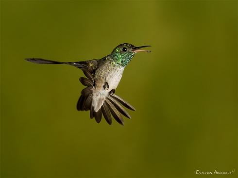 Picaflor esmeralda - Amazilia versicolor