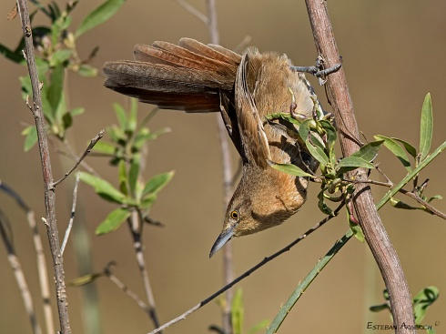 Espinero pecho manchado - Phacellodomus striaticollis