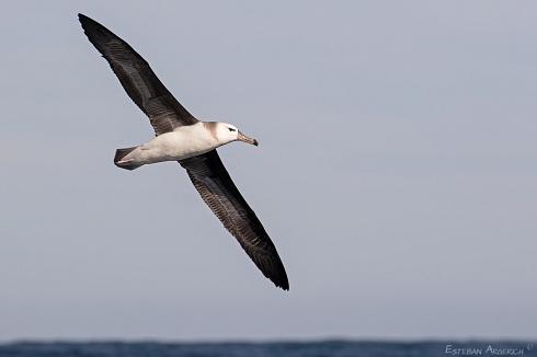 Albatros ceja negra - Thalassarche melanophris