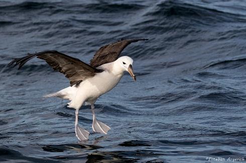 Albatros Ceja Negra (Thalassarche melanophris; Black-browed Albatross)