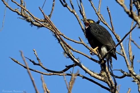 Taguató negro - Parabuteo leucorrhous