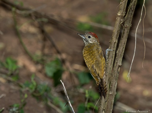 Carpintero oliva yungueño - Veniliornis frontalis