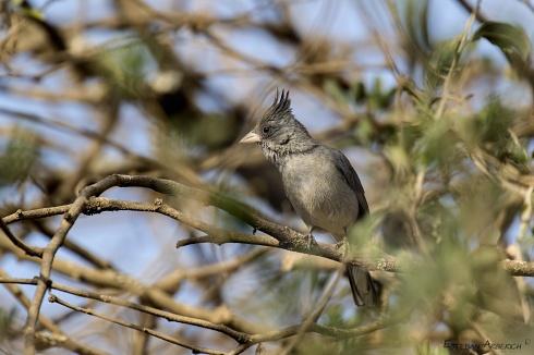 Soldadito Gris (Lophospingus griseocristatus)