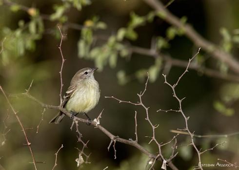 Piojito pardo - Phaeomyias murina