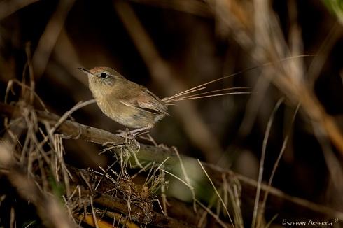 Colilarga - Sylviorthorhynchus desmursii