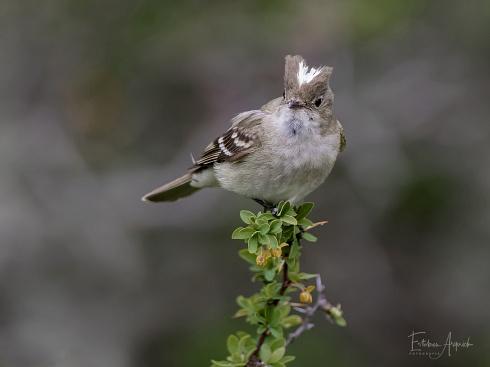 Fiof�o silb�n - Elaenia albiceps