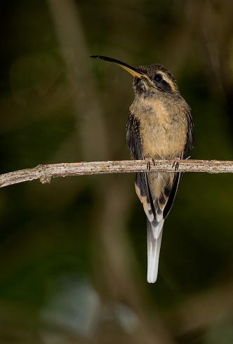 Ermita�o Escu�lido (Phaethornis squalidus)