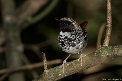 Hormiguero Escamoso (Myrmoderus squamosus)