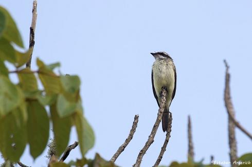 Tuquito chico - Legatus leucophaius