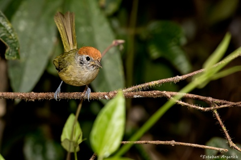 Chiv� coronado - Hylophilus poicilotis