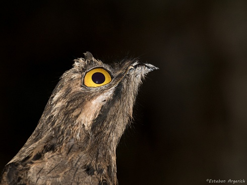 Urutaú común - Nyctibius griseus
