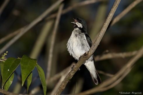 Corbatita overo - Sporophila lineola