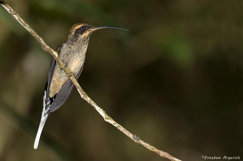 Ermita�o escamado - Phaethornis eurynome