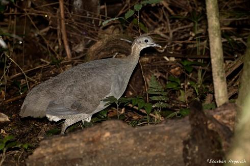 Primera en FN?  -  Macuco - Tinamus solitarius
