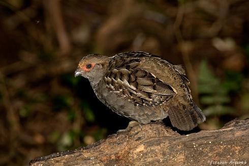 Ur� (Odontophorus capueira; Spot-winged Wood-Quail)