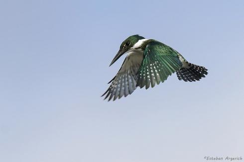 Martín Pescador Mediano,  (Chloroceryle amazona), Amazon Kingfisher,  Martim-pescador-verde