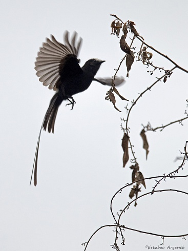 Yetap� Negro (Colonia colonus; Long-tailed Tyrant)