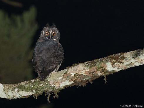 Lechuz�n negruzco - Asio stygius