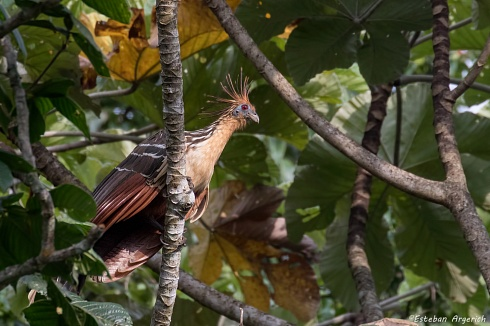 El Hoatzín: Ave Prehistórica o Eslabón Perdido?