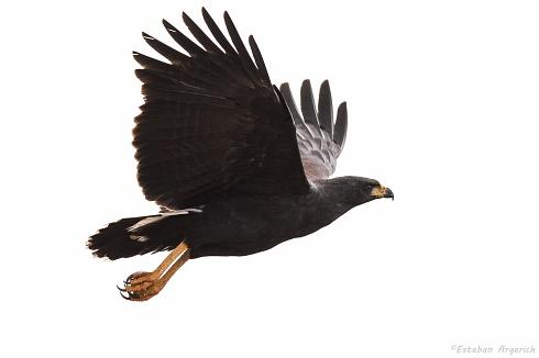 Águila negra - Buteogallus urubitinga