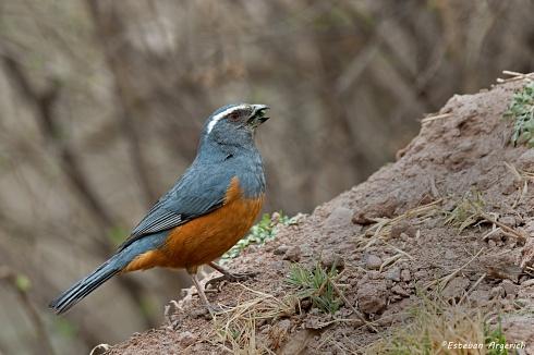 Pepitero colorado - Saltator rufiventris