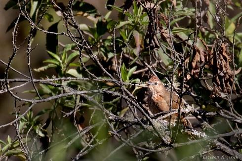 Espinero serrano - Phacellodomus maculipectus
