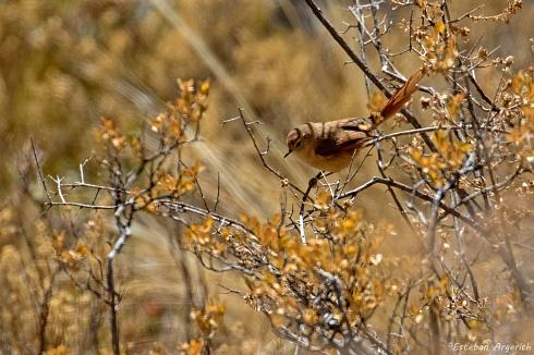 Coludito pune�o - Leptasthenura yanacensis  �!
