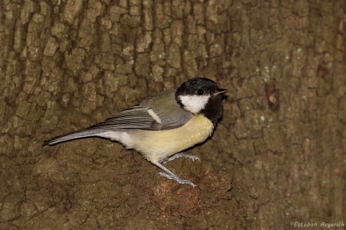 Carbonero Com�n (Parus major; Great Tit)