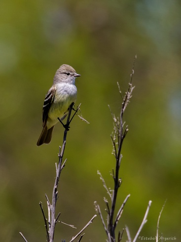 Suirir� pico corto - Sublegatus modestus
