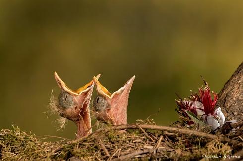Zorzal colorado - Turdus rufiventris