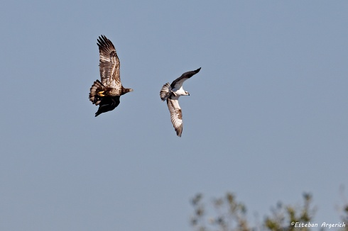 Águila Calva  (Haliaeetus leucocephalus) Vs  Águila pescadora  (Pandion haliaetus