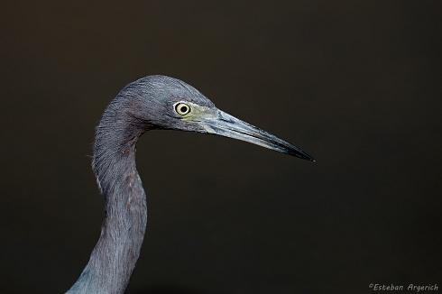 Garza azul - Egretta caerulea